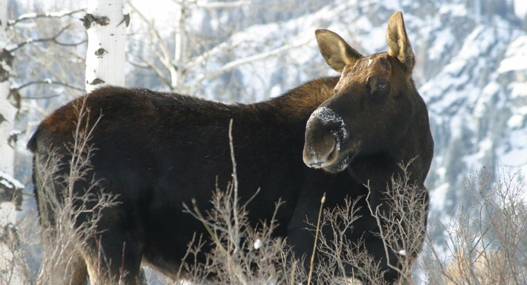 Do Moose Have Tails?