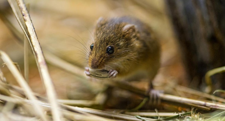Will Mothballs Get Rid of Mice?