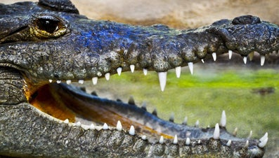 How Much Does an Alligator Weigh?