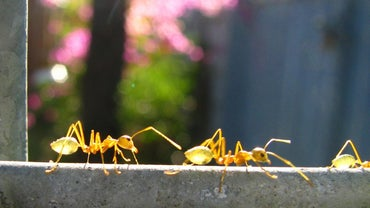 How Much Do Ants Weigh?