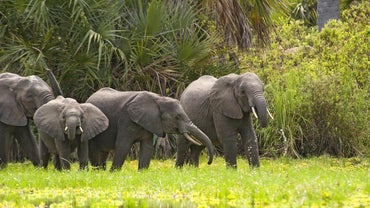 How Much Does the Average African Elephant Weigh?