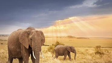 How Much Does an Average Elephant Weigh?