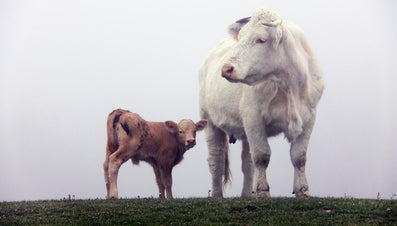 How Much Does a Baby Calf Weigh?