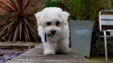 How Much Does a Bichon Frise Cost?