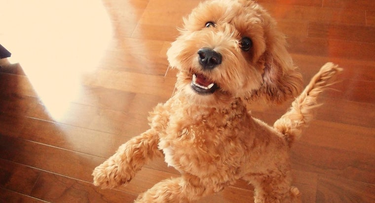 How Much Does a Cockapoo Cost?