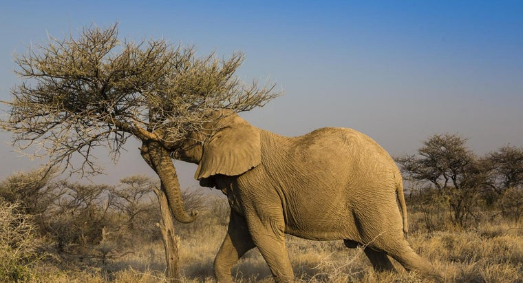 How Much Do Elephants Eat?