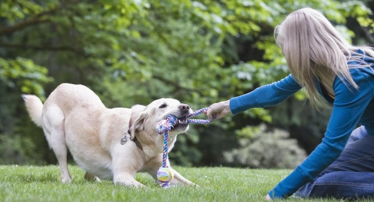 How Much Exercise Does a Labrador Require?