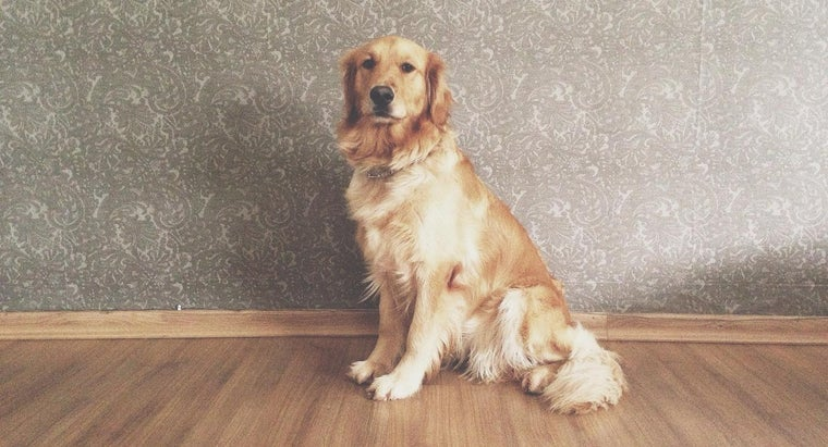 how much does a golden retriever weigh. Black Bedroom Furniture Sets. Home Design Ideas