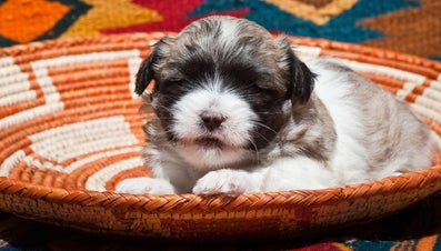 How Much Money Does a Coton De Tulear Cost?