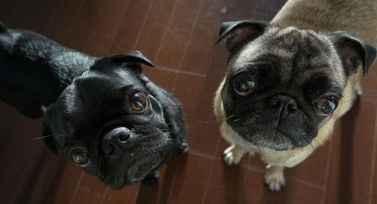 How Much Are Pugs?