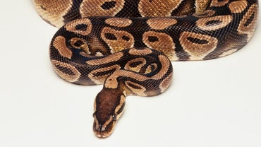 How Much Does a Python Weigh?