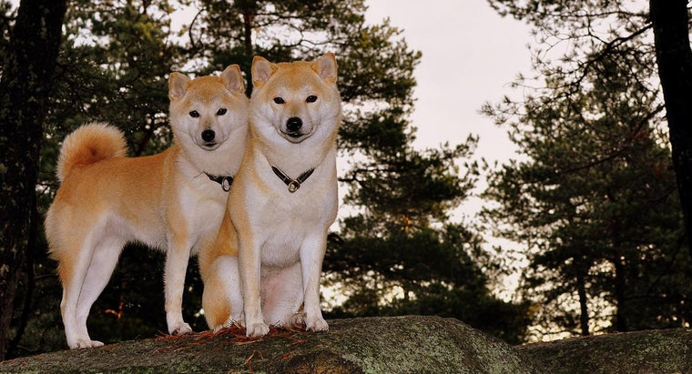 How Much Does a Shiba Inu Weigh?
