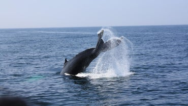 How Much Sperm Does a Whale Produce?