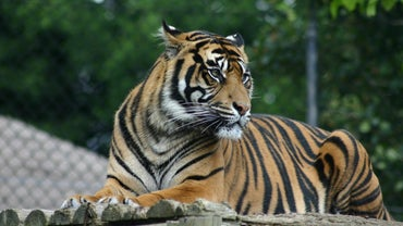 How Much Does a Tiger Cost?