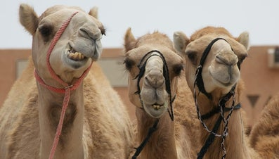 How Much Water Does a Camel Drink?