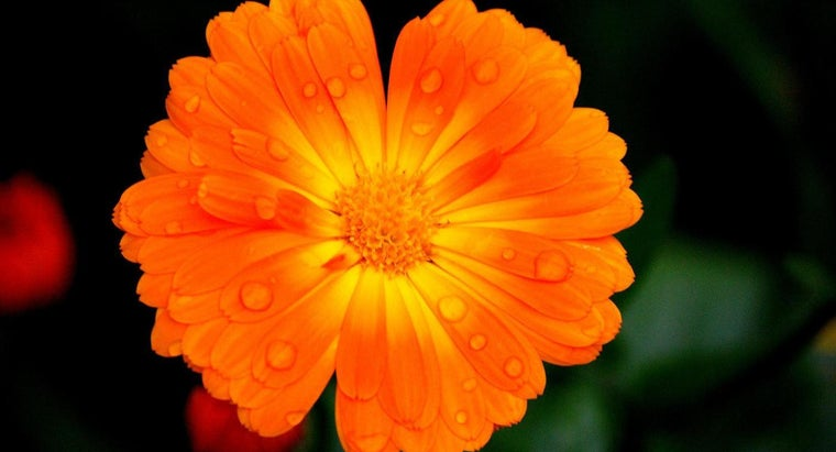 How Much Water Do Marigolds Need?