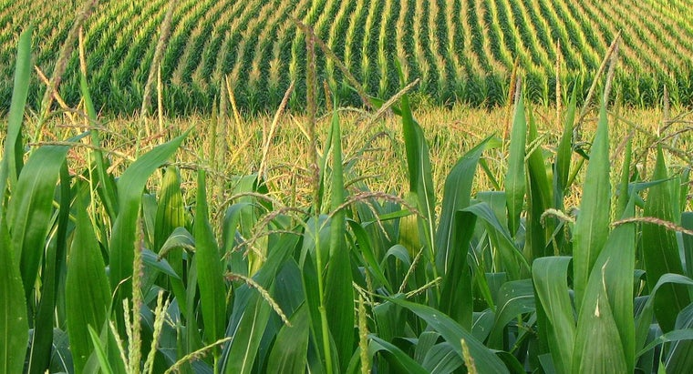 How Much Water Is Required for Corn to Grow?