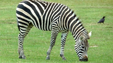 How Much Does a Zebra Eat a Day?