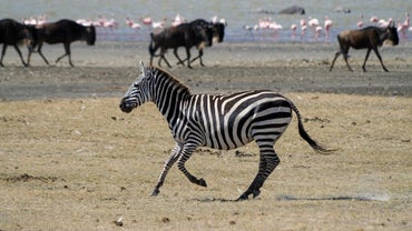 How Much Do Zebras Weigh?