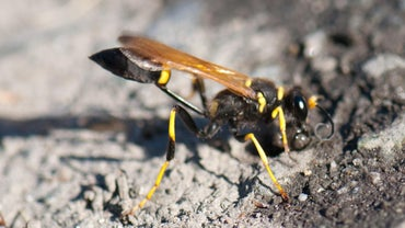 Do Mud Daubers Sting?