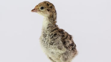 What Is the Name of a Baby Turkey?