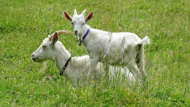 What Is the Name of a Young Goat?