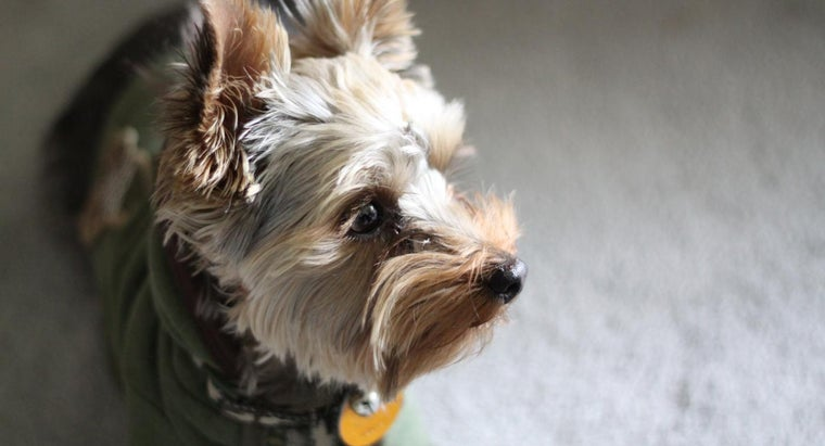 What Are Some Names for a Male Yorkie?