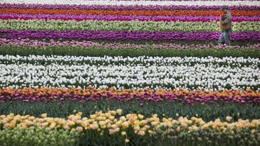 What Is the National Flower of the Netherlands?