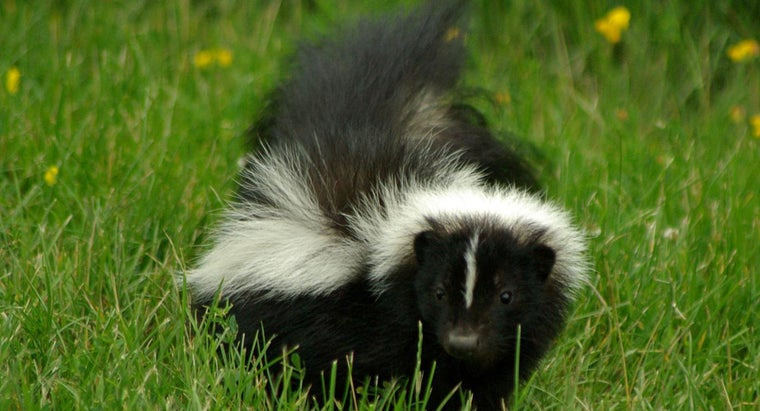 Are There Natural Ways to Get Rid of Skunks?