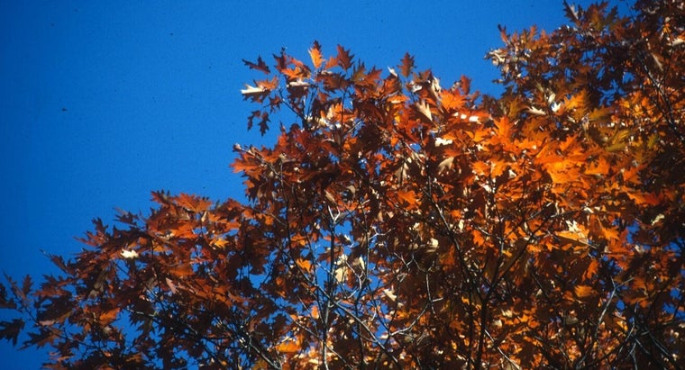 What Is a Northern Red Oak Tree?