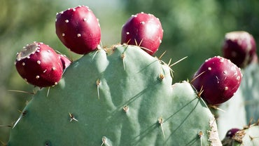What Is the Nutrition Content of a Cactus Fruit?