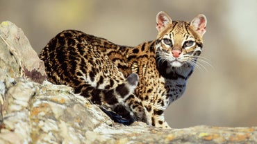 What Do Ocelots Eat?