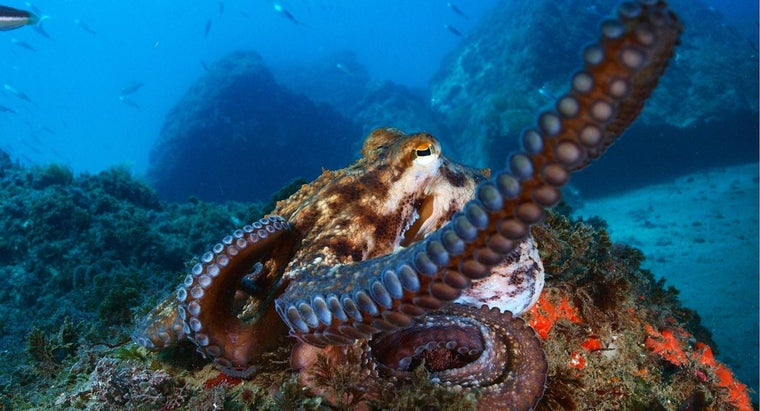 Is an Octopus a Fish?