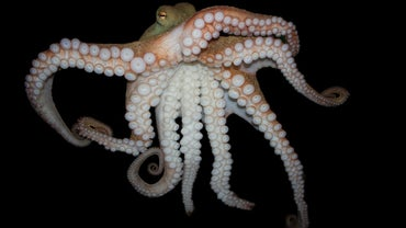 Why Do Octopuses Have Eight Legs?