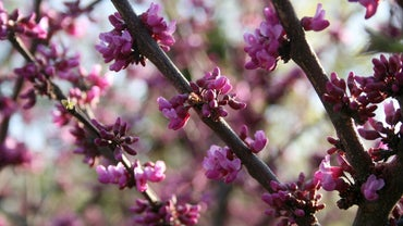 What Is an Oklahoma Redbud?