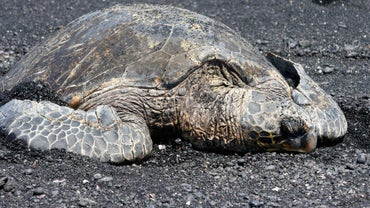 How Old Is the Oldest Sea Turtle?