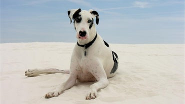 What Is the Oldest Living Great Dane?