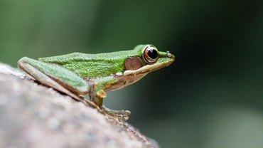 How Does One Get Rid of Tree Frogs?