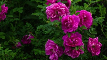 How Does One Transplant Wild Rose Bushes?