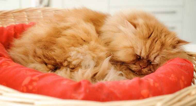 What Is an Orange Persian Cat?