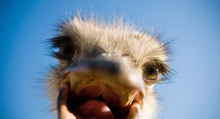 What Do Ostriches Eat?