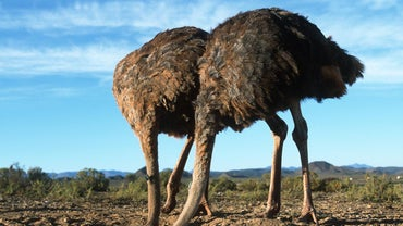 Why Do Ostriches Stick Their Heads in the Sand?