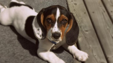 What Other Kinds of Dogs Are Mixed With Basset Hounds to Make Puppies?
