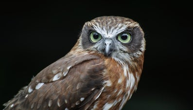 Why Do Owls Hoot at Night?