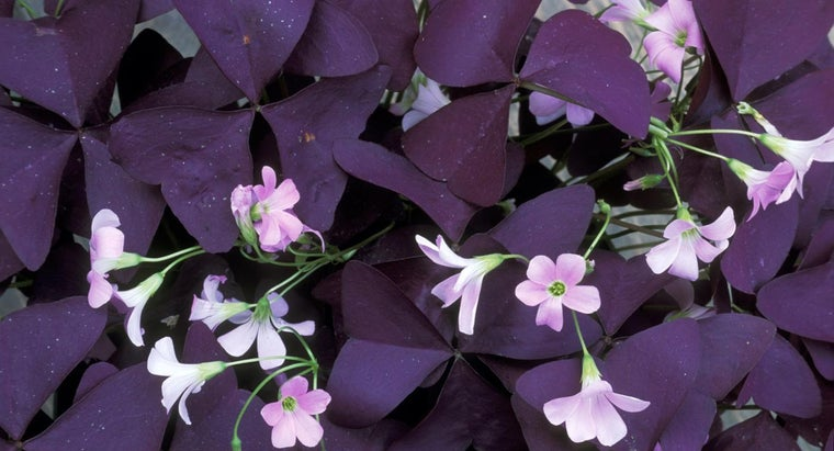 What Is Oxalis Regnellii Commonly Called?