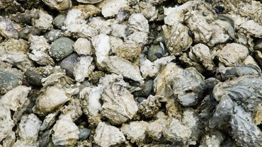 How Do Oysters Reproduce?