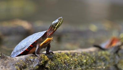 Where Do Painted Turtles Live?