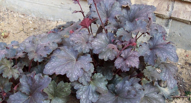 """What Are """"Palace Purple"""" Coral Bells?"""