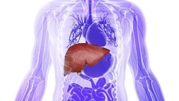 What Is the Parenchyma of the Liver?