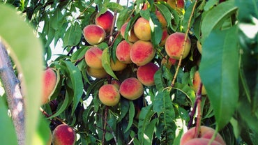 Where Do Peaches Grow?